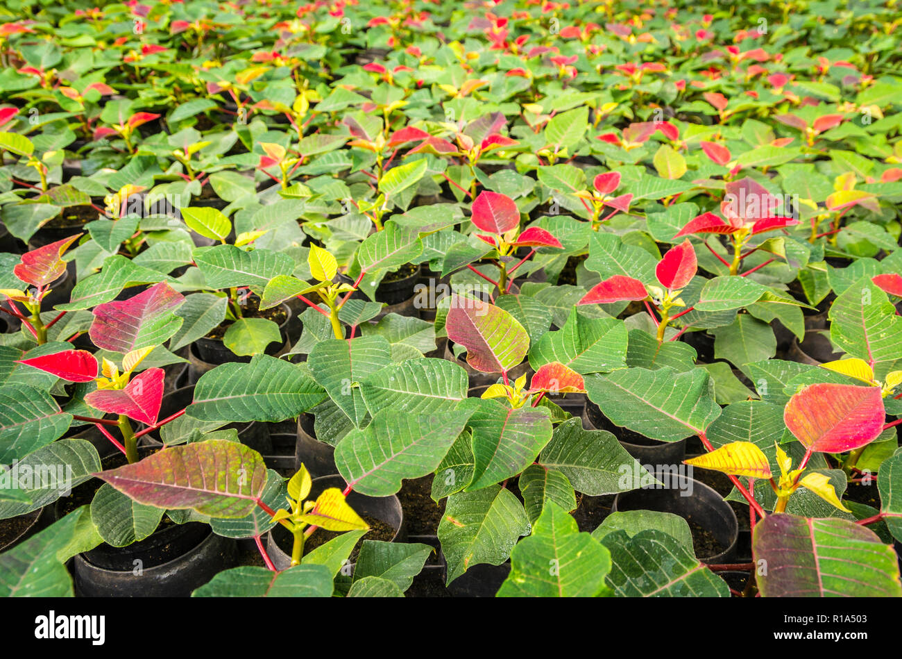 small plants of poinsettia or christmas star flower.Euphorbia pulcherrima is a popular garden plant associated with winter festivities - Stock Image