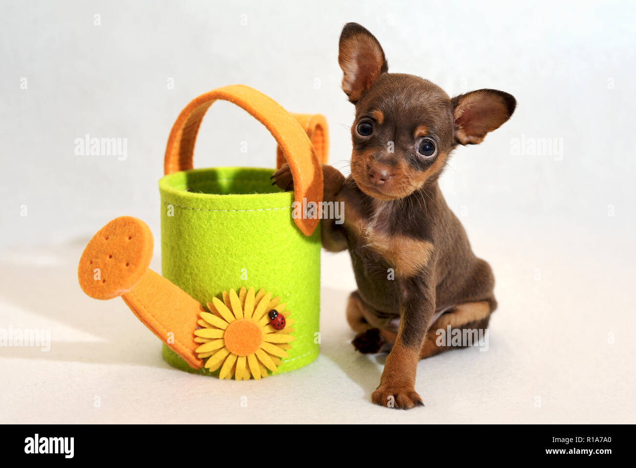 Russkiy toy terrier puppy with watering-can - Stock Image