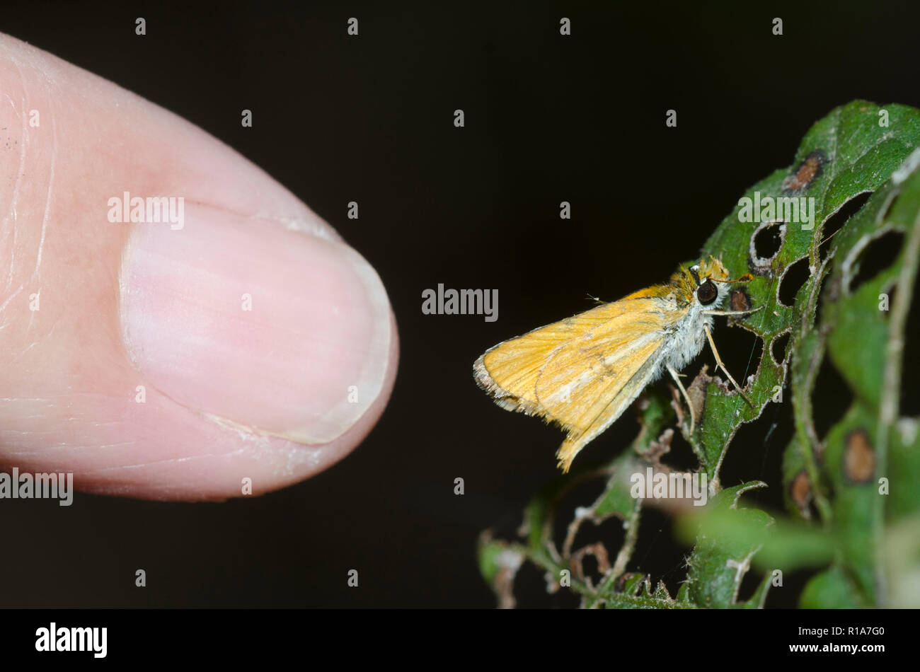 Southern Skipperling, Copaeodes minima, next to pinky finger to illustrate size - Stock Image