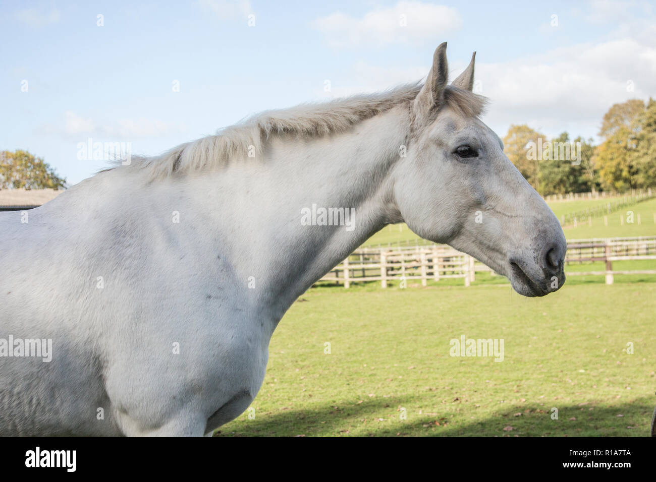 Horses Head Close Up White Horse Outside On A Sunny Day In Worcestershire England Stock Photo Alamy