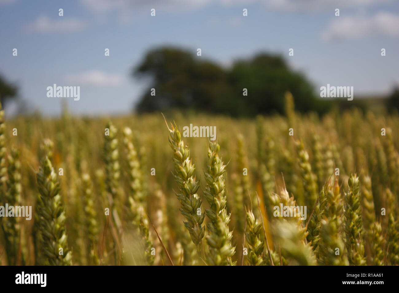Wheat fields in July in Southern England - Stock Image