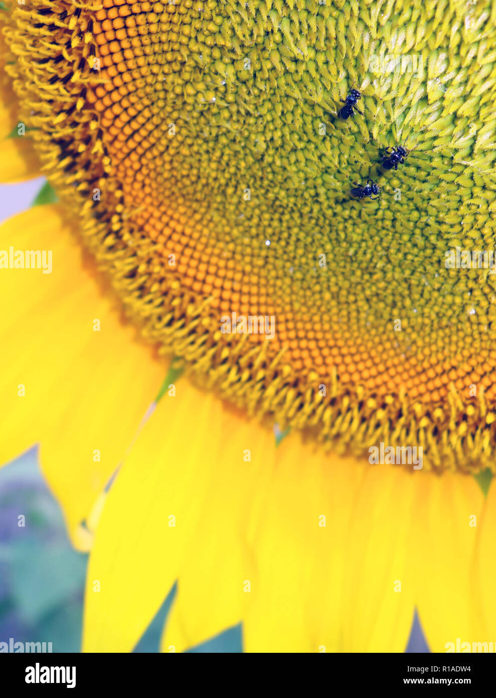 Tiny Australian native stingless bees on sunflower - Stock Image