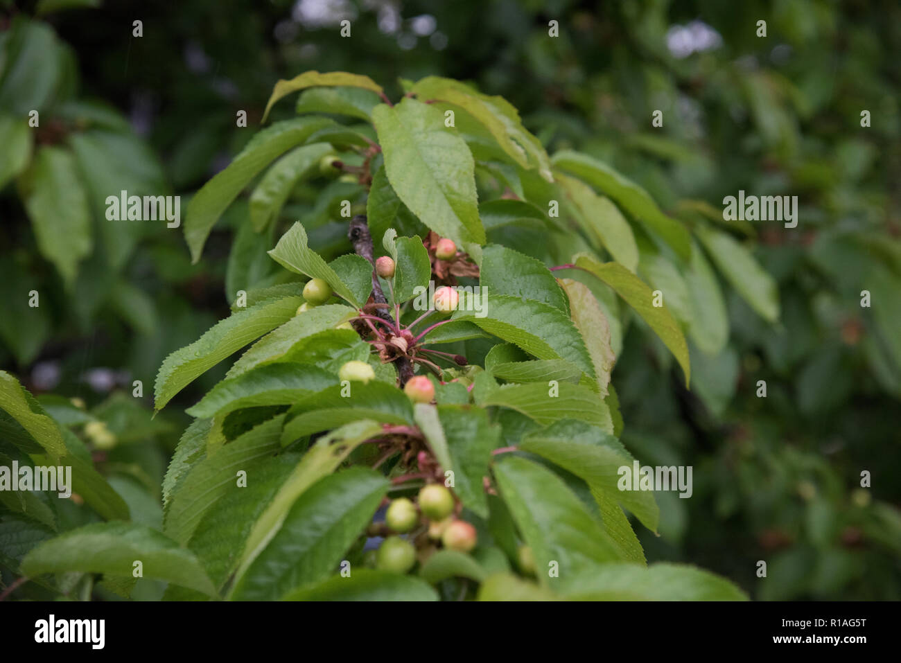 128/5000 Unripe cherries - Stock Image