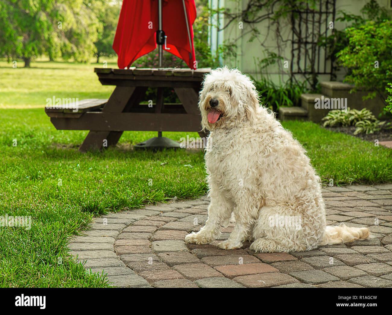 White Shaggy Golden Doodle Dog enjoying the outdoors Stock