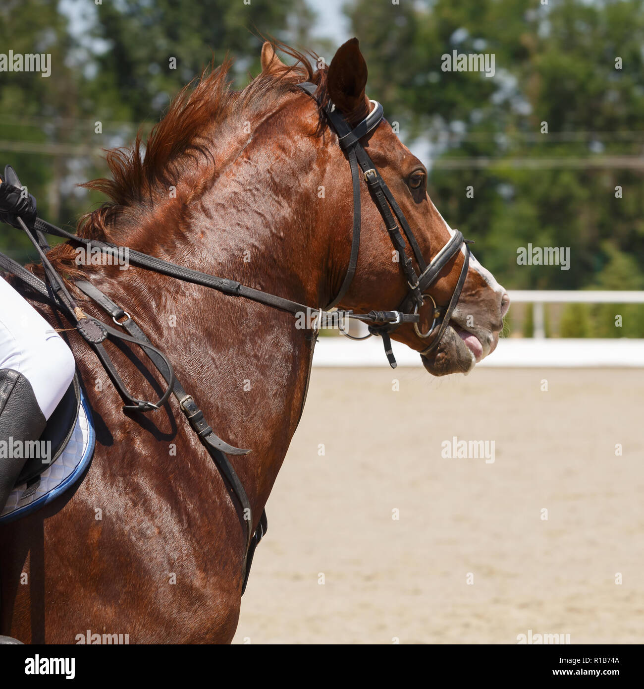Head of galloping the sorrel horse close-up - Stock Image