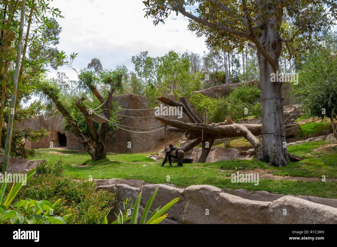 Gorillas in the gorilla enclosure (Gorilla Forest) in the San Diego Zoo Safari Park, Escondido, CA, United States - Stock Image