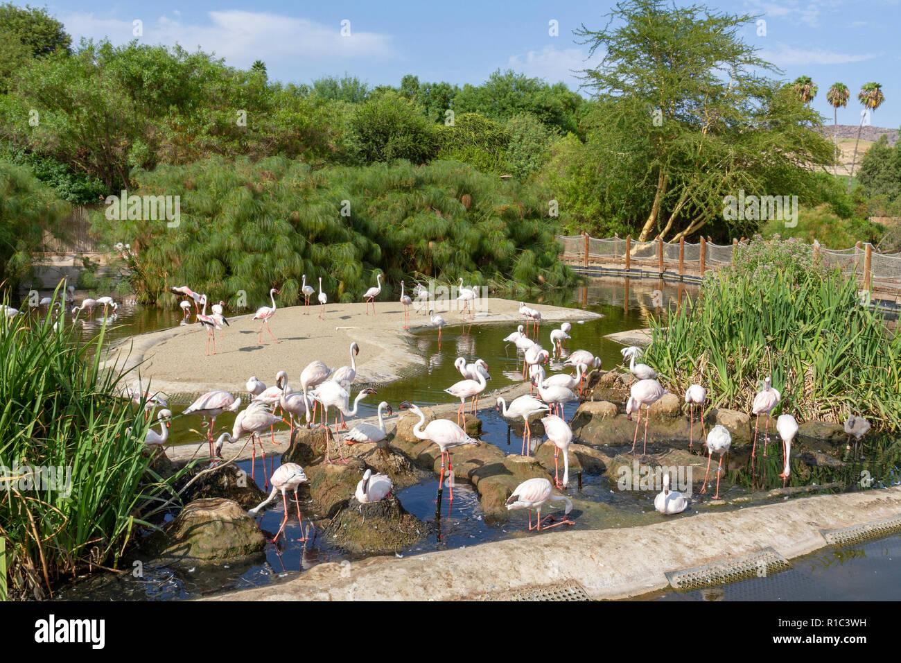 Lesser Flamingos (phoeniconaias minor) in the San Diego Zoo Safari Park, Escondido, CA, United States Stock Photo