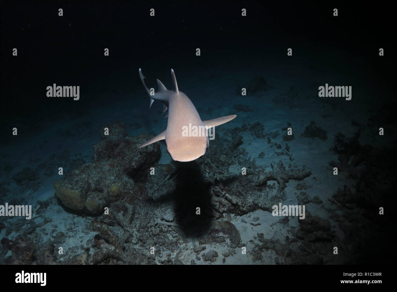 Whitetip reef shark (Triaenodon obesus) hunting in the night underwater in the Great Barrier Reef of Australia - Stock Image