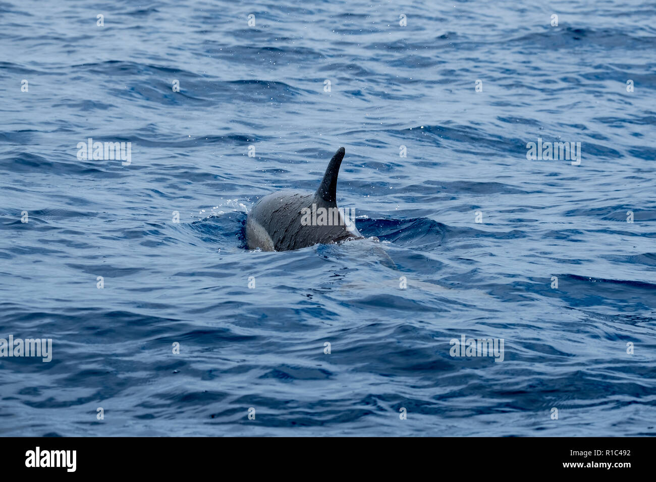 A short beaked common dolphin swimming in a blue ocean - Stock Image