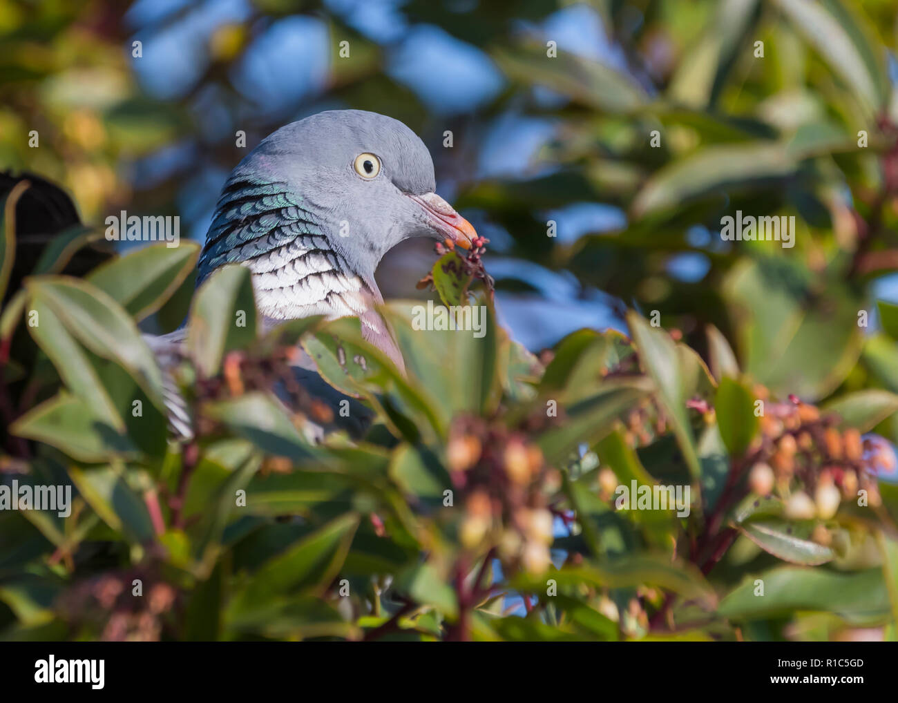 Concealed body with head popping up of a Common Wood Pigeon (Columba palumbus) perched in a tree in Winter in West Sussex, UK. - Stock Image