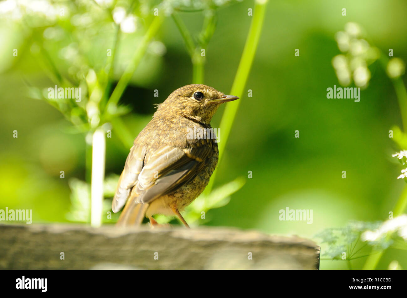 Juvenile robin checking out a feeding table, Forge Valley, North Yorkshire, England Stock Photo