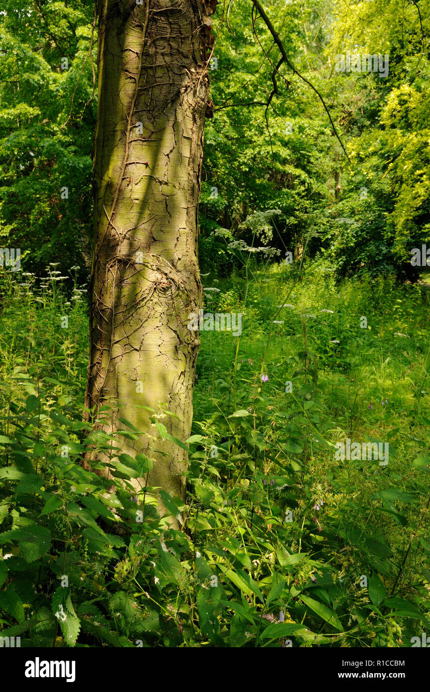 Afternoon sunshine lighting up a clearing in a wood in the grounds of Elsham Hall, Lincolnshire, England Stock Photo