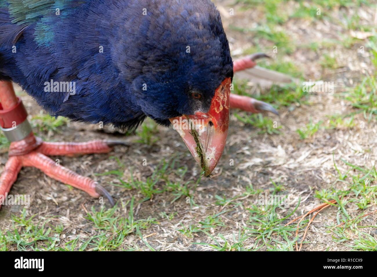 c55985993 South Island Takahē (Porphyrio hochstetteri) head bill close up. Takahe is a  native