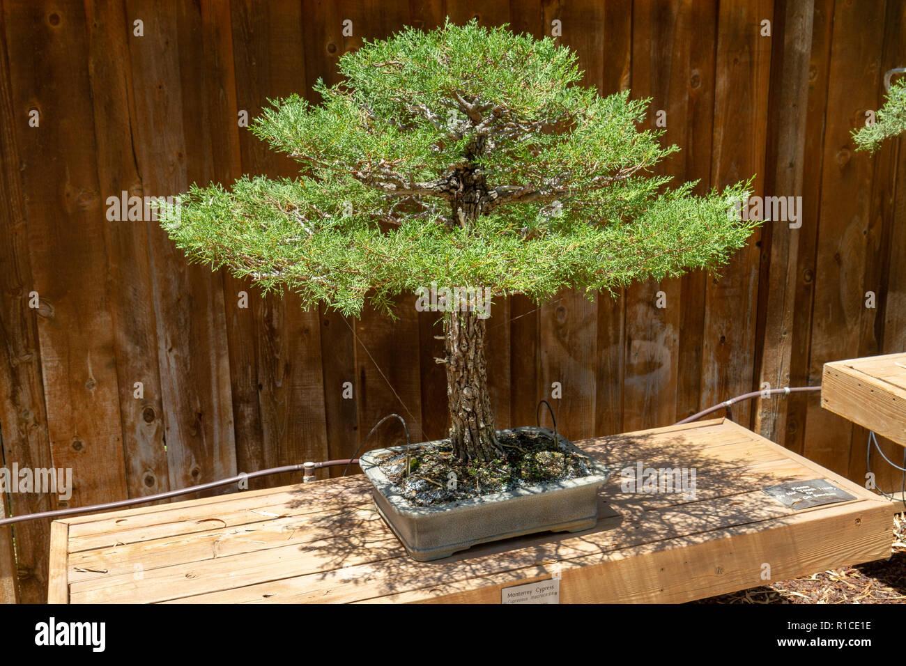 A Monterrey Cypress Cupressus Macrocarpa Of The Bonsai Pavilion San Diego Zoo Safari Park Escondido Ca United States Stock Photo Alamy