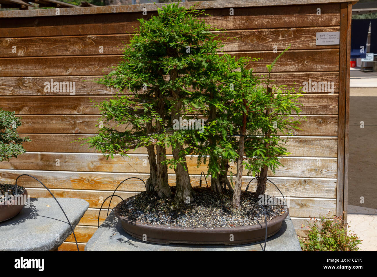 A Bald Cypress Taxodium Distichum Bonsai Pavilion San Diego Zoo Safari Park Escondido Ca United States Stock Photo Alamy