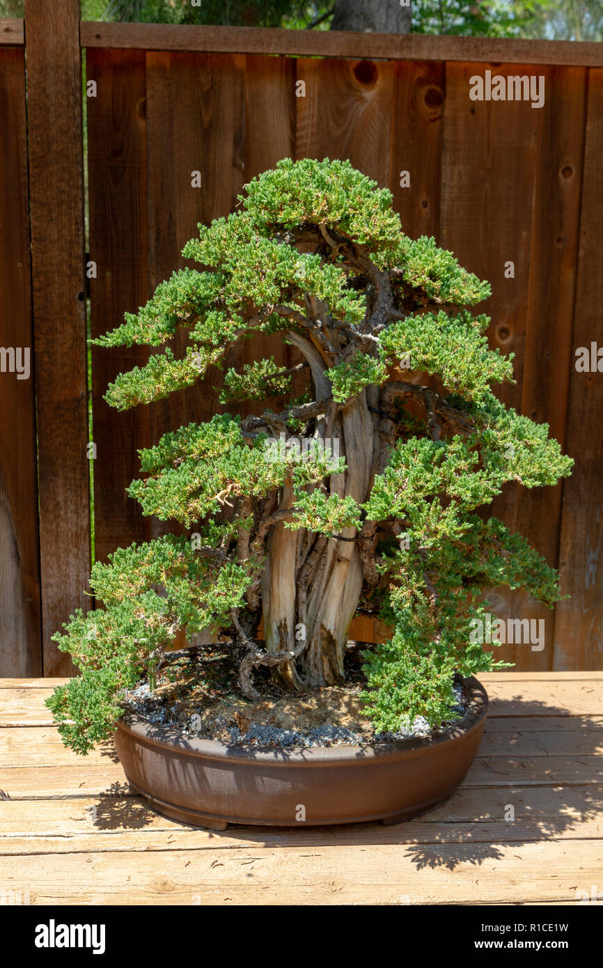 A Procumbens Tanukiak Juniperus Chinensis Procumbens Nana Bonsai Pavilion San Diego Zoo Safari Park Escondido Ca United States Stock Photo Alamy