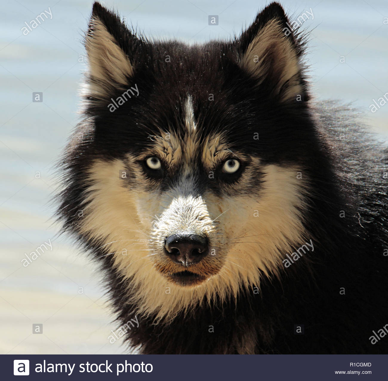 The Siberian Husky is a medium size working dog breed that originated in Northeast Asia. The breed belongs to the Spitz genetic family. With proper tr - Stock Image