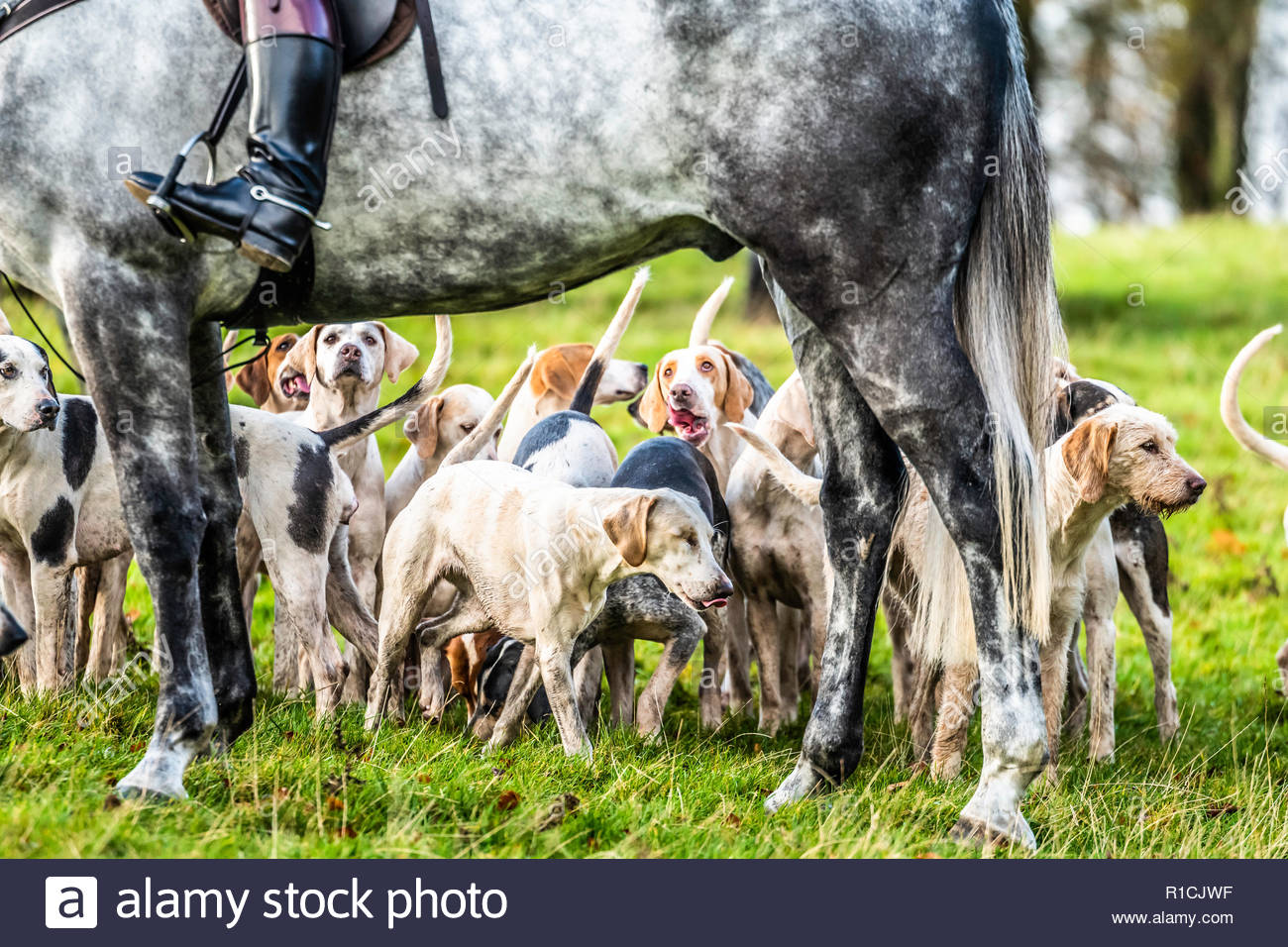 Roberton, Hawick, Scottish Borders, UK. 10th November 2018. The Duke of Buccleuch foxhounds flush foxes to guns in the Hawick hills. The areas economy Stock Photo