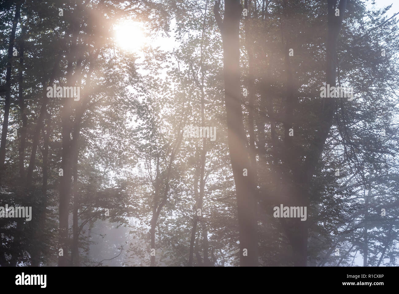 mysterious foggy autumn forest with weak sunlight - Stock Image