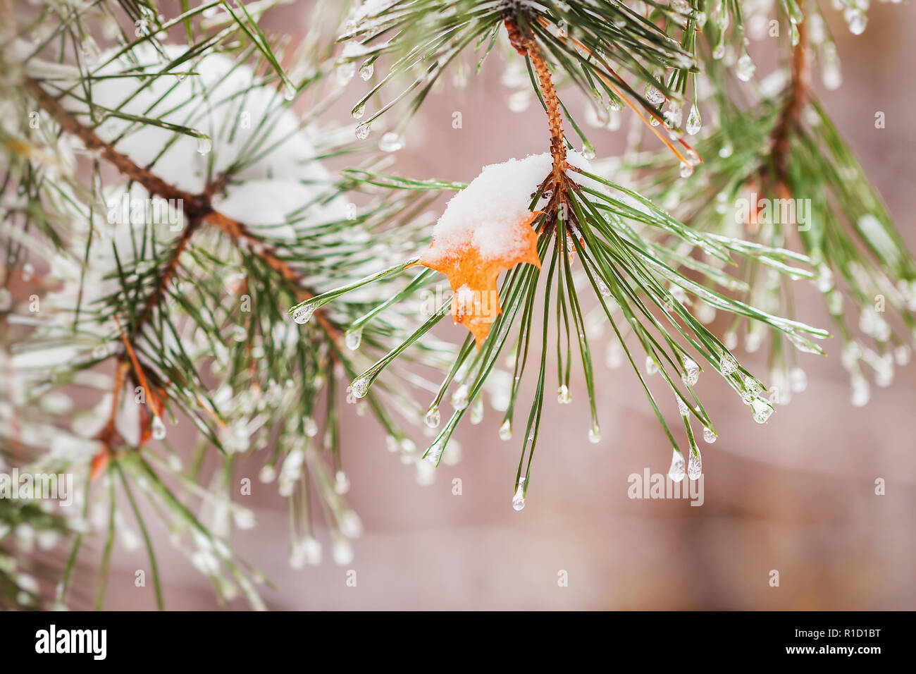 Winter begins. Autumn yellow maple leaf stuck on a pine-tree branch under first freezing rain - Stock Image