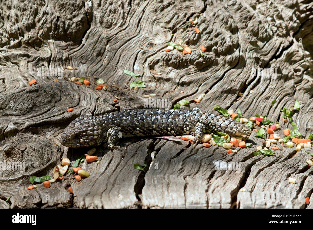 the shingle back lizard is hiding in plain sight it uses its natural camouflage to protect itself from its enemies - Stock Image