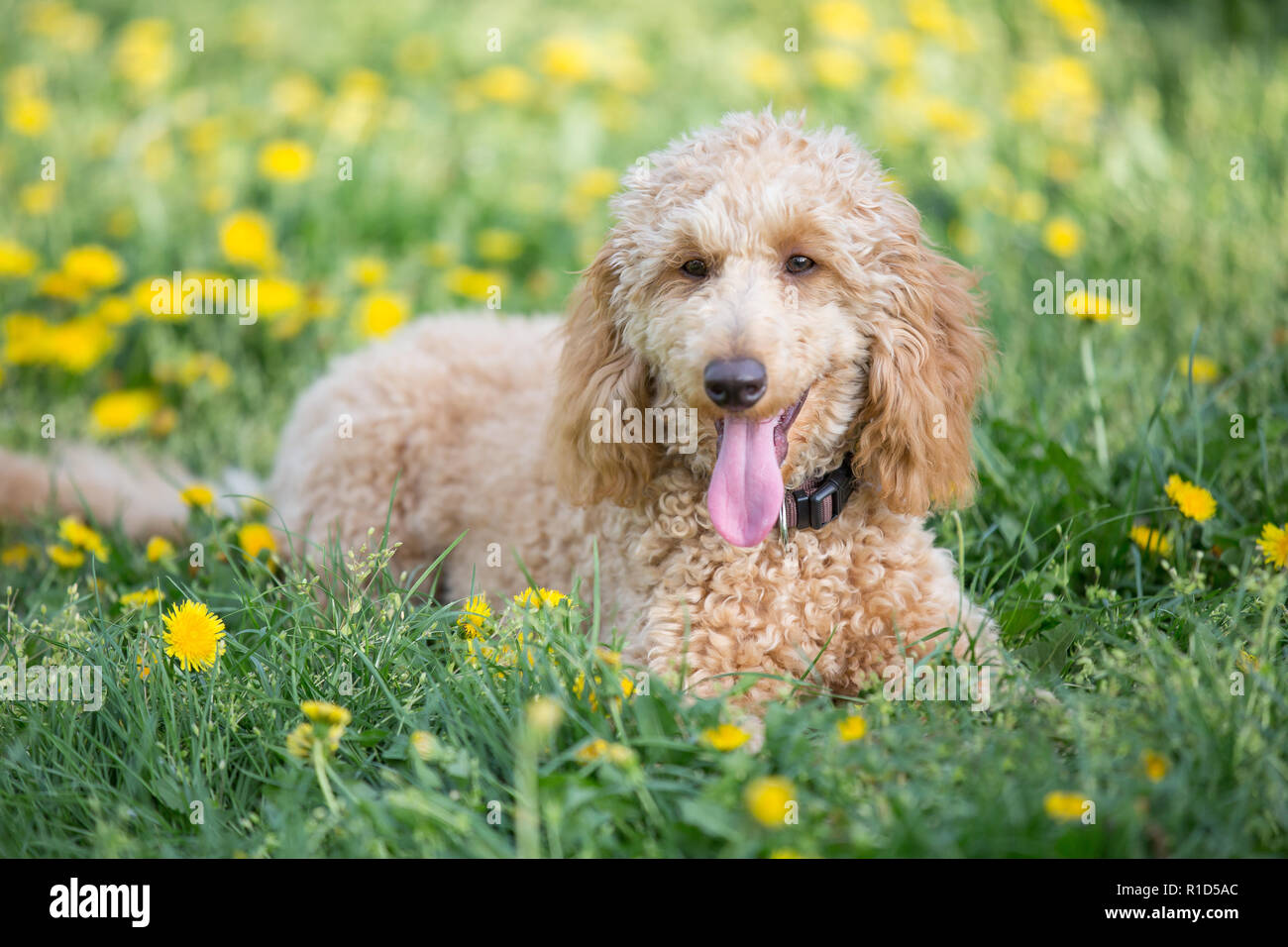 Young apricot poodle portrait. Attentive young six month old poodle dog on meadow between yellow flowers, Vienna, Austria - Stock Image