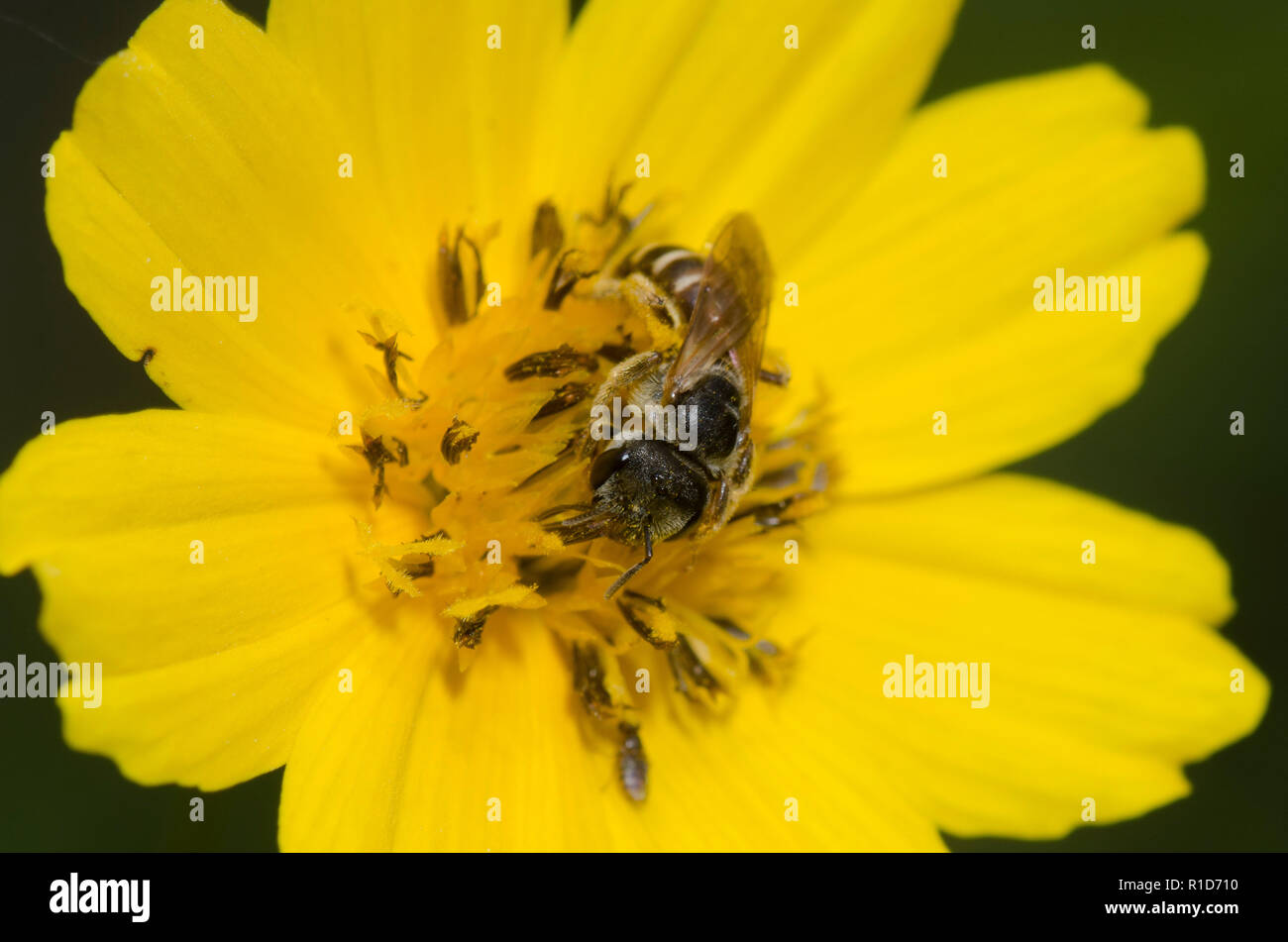Sweat Bee, Halictus ligatus, on tickseed, Coreopsis sp. - Stock Image