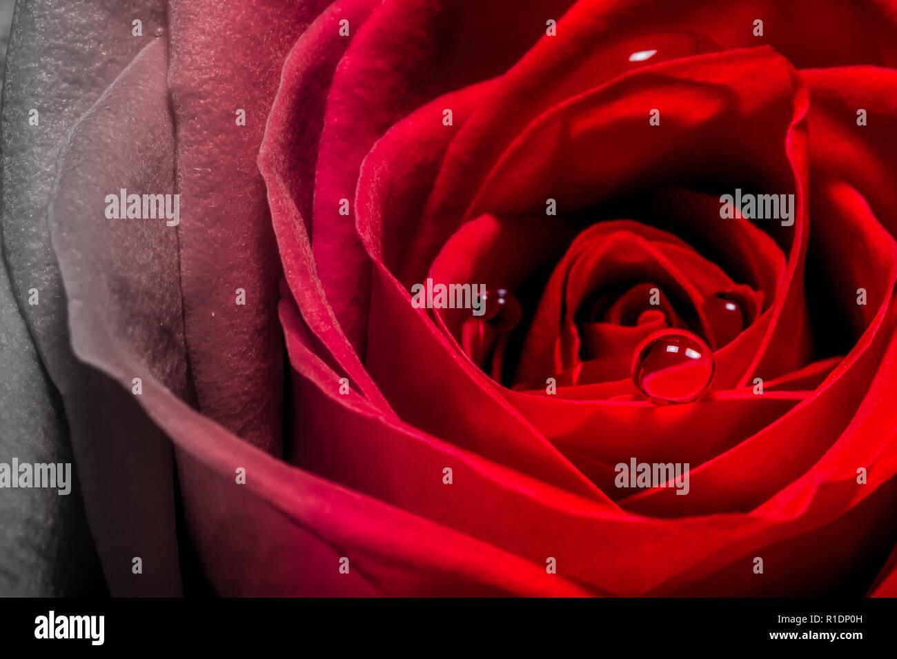 Scarlet Rose Nude Photos 33