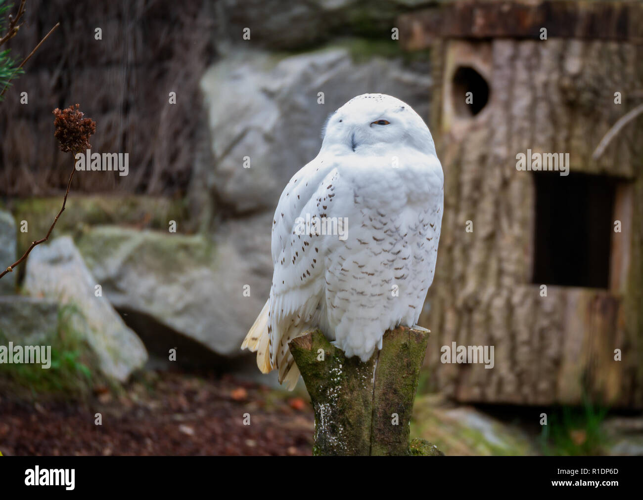 Close up Image of a white snow owl sitting on a trunk Stock Photo