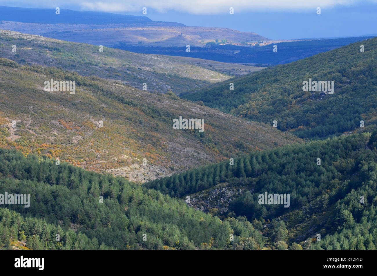 View of a large-scale pine afforestation replacing the original oak forest in the Tejera Negra Natural Reserve, Guadalajara province, central Spain - Stock Image