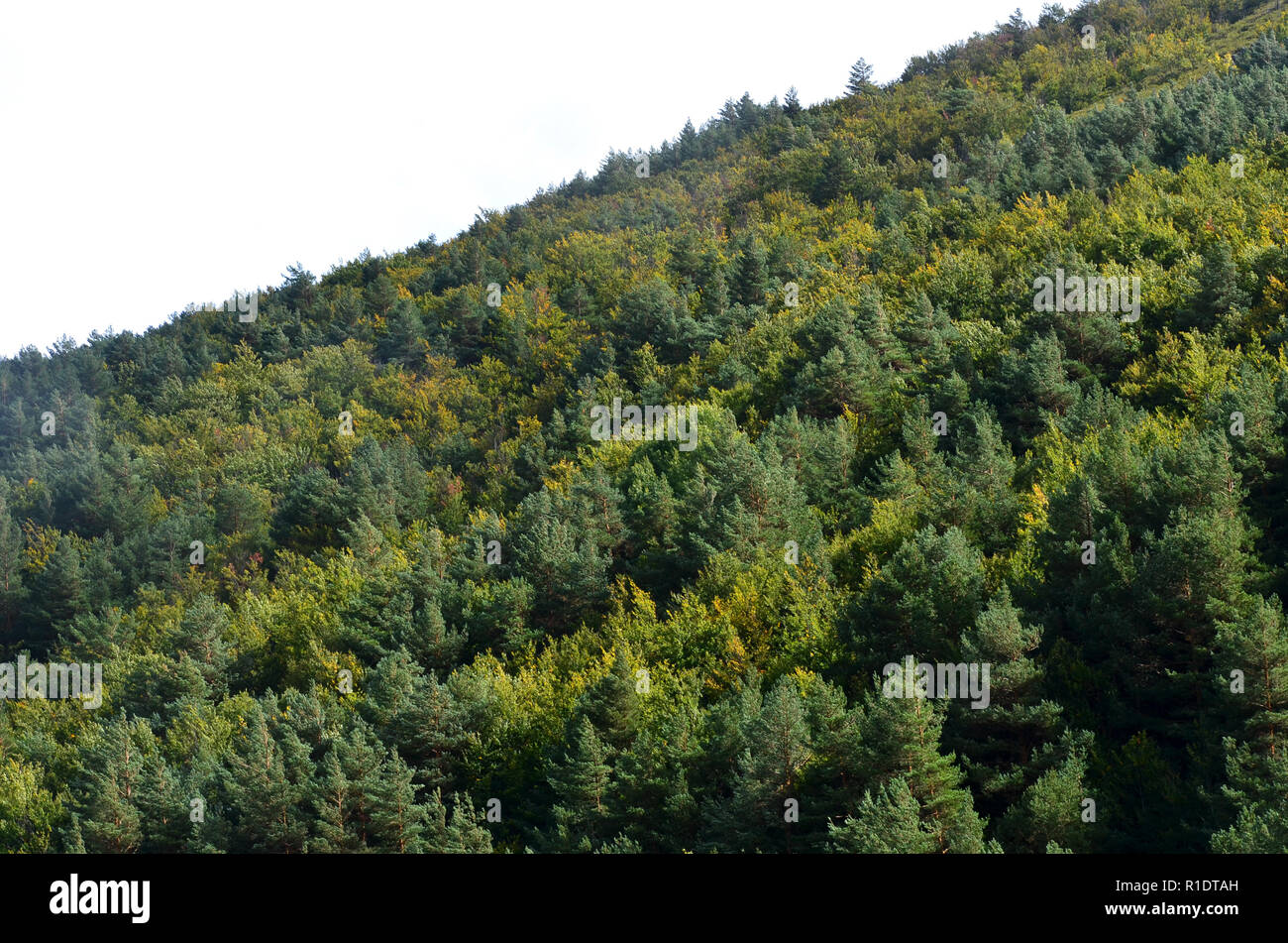 Natural oak and beech forest regenerating amidst a pine tree afforestation in the Tejera Negra Natural Reserve, Guadalajara province, central Spain - Stock Image