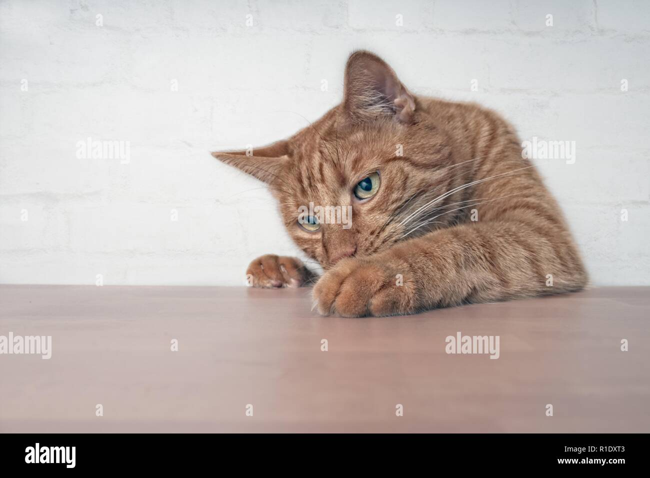 Naughty ginger cat showing paws on wooden table. - Stock Image