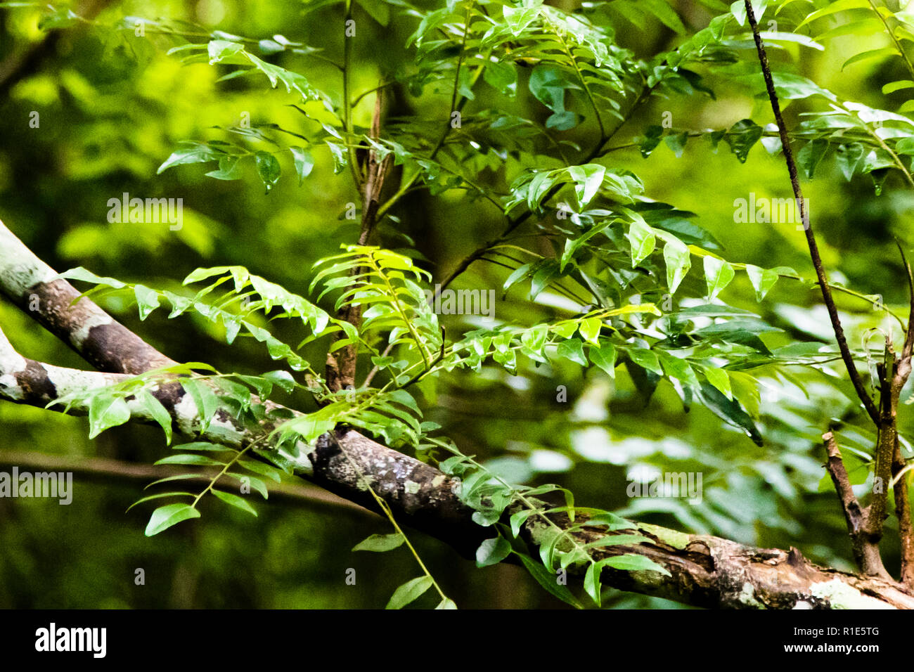 Leaves of curry tree in Sri Lanka - Stock Image