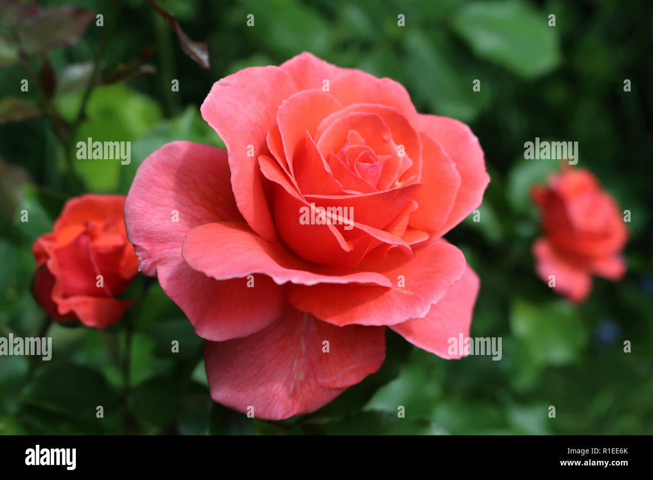 Pinky red garden roses in bloom - Stock Image
