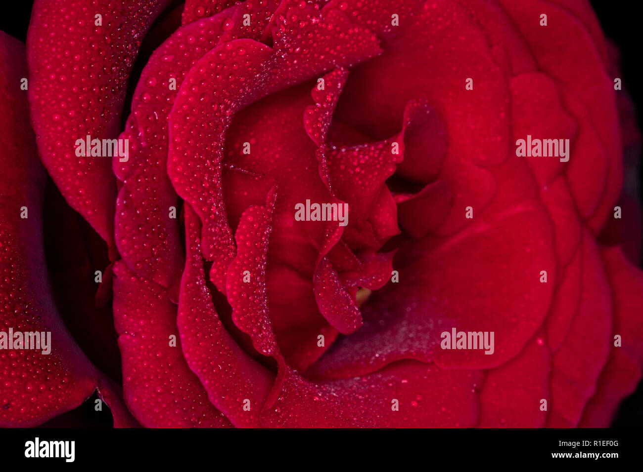 Dewy red rose - Stock Image