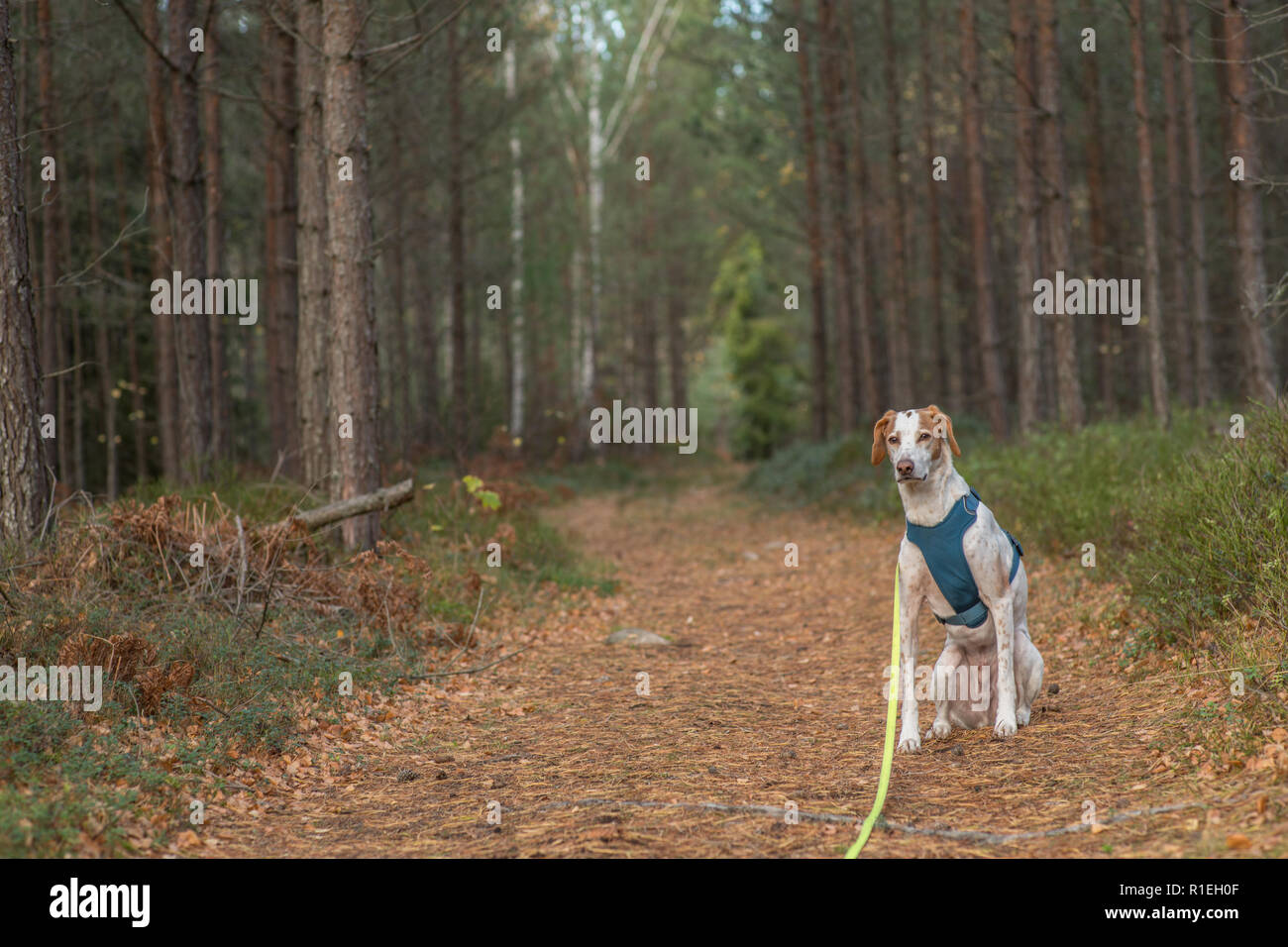 A pointer dog with a harness sitting on a walking path in a Scandinavian forest. - Stock Image