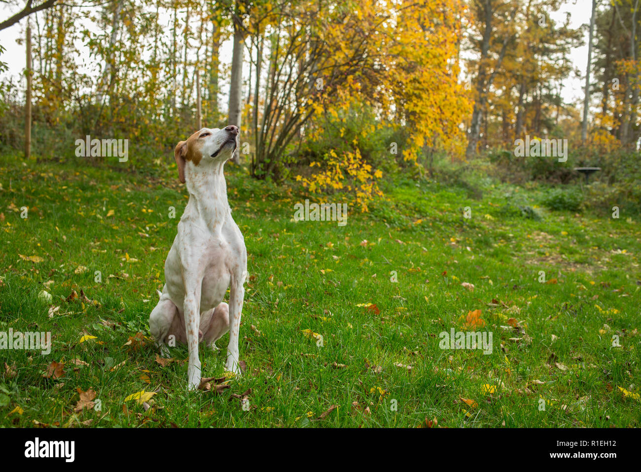 Dog sitting outside in the back yard smelling the air - Stock Image