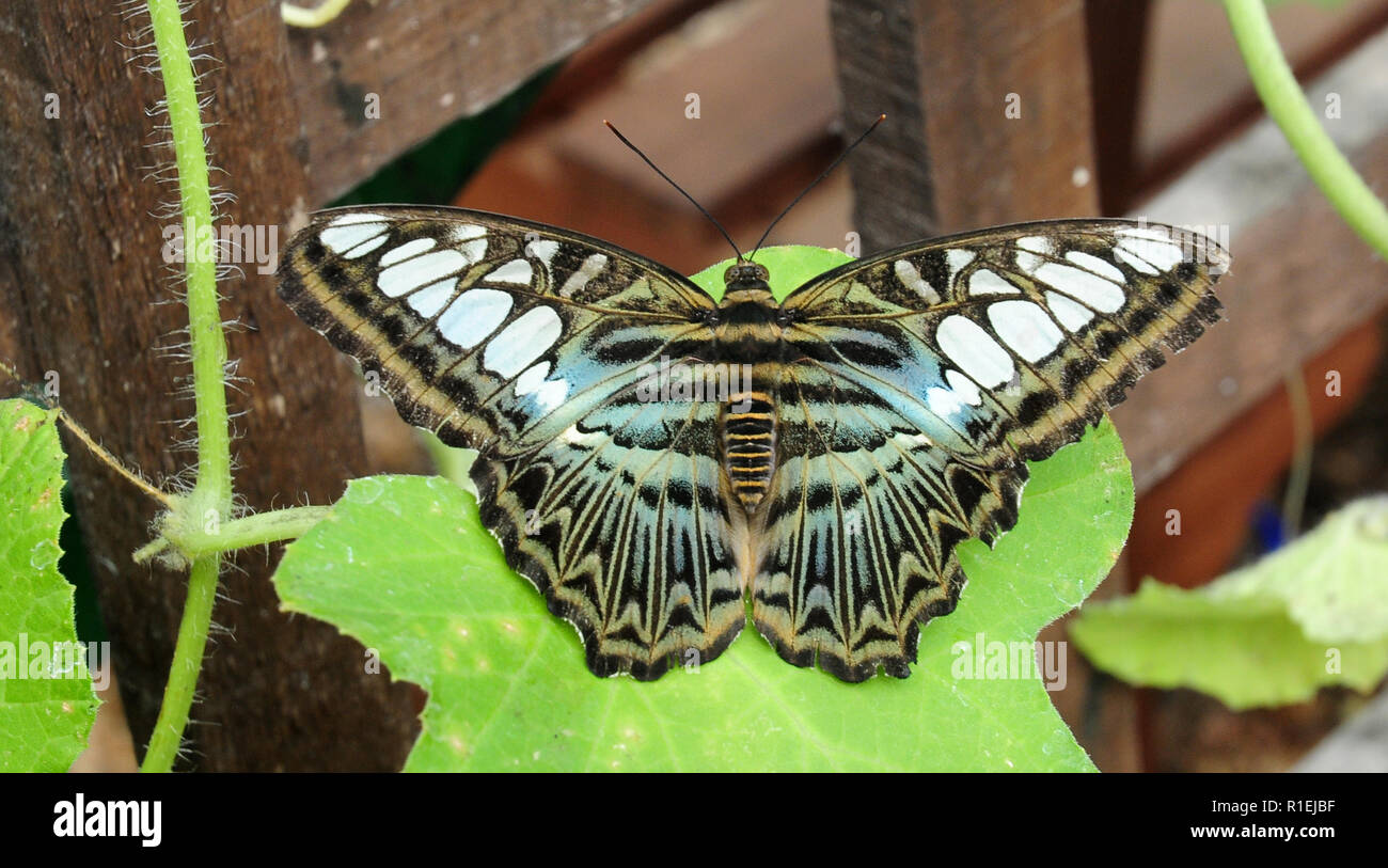 Blue Clipper butterfly, Parthenos sylvia lilacinus here at Earnley Butterfly House. - Stock Image