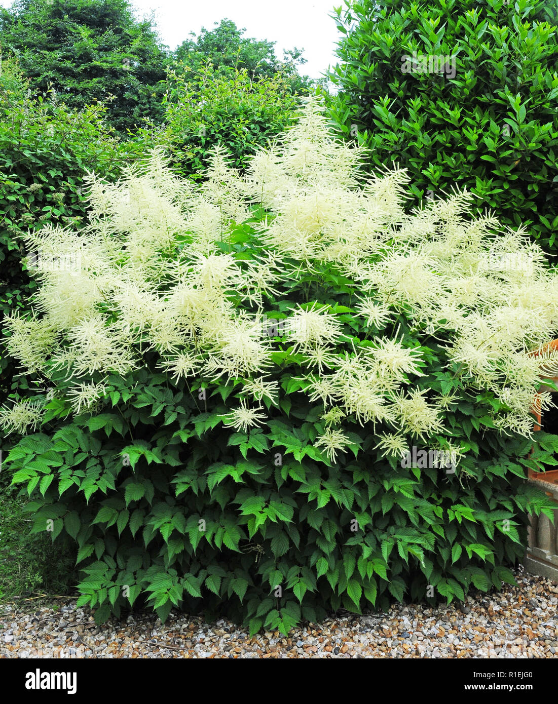 Goatsbeard. Aruncus sylvester. Aruncus dioicus in bloom. Whole plant - Stock Image