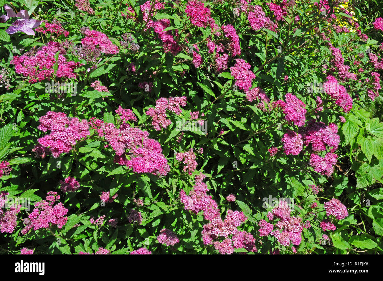 Deciduous shrub, Spirea Anthony Waterer in bloom. - Stock Image