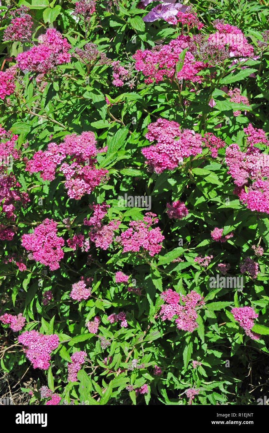 Deciduous shrub Spirea Anthony Waterer in bloom. - Stock Image
