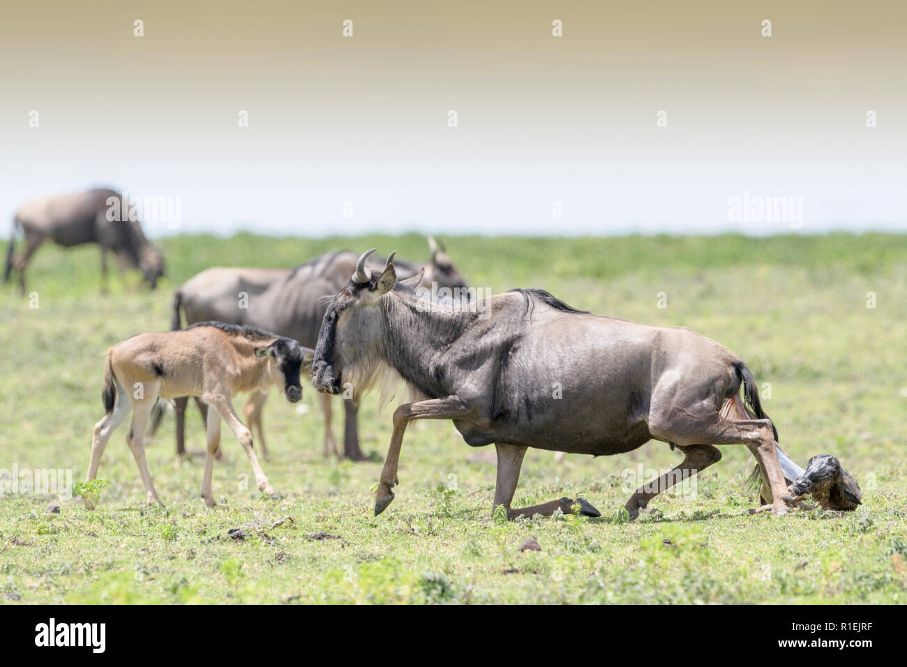 Blue Wildebeest (Connochaetes taurinus) standin up after giving birth to a calf, Ngorongoro conservation area, Tanzania. - Stock Image