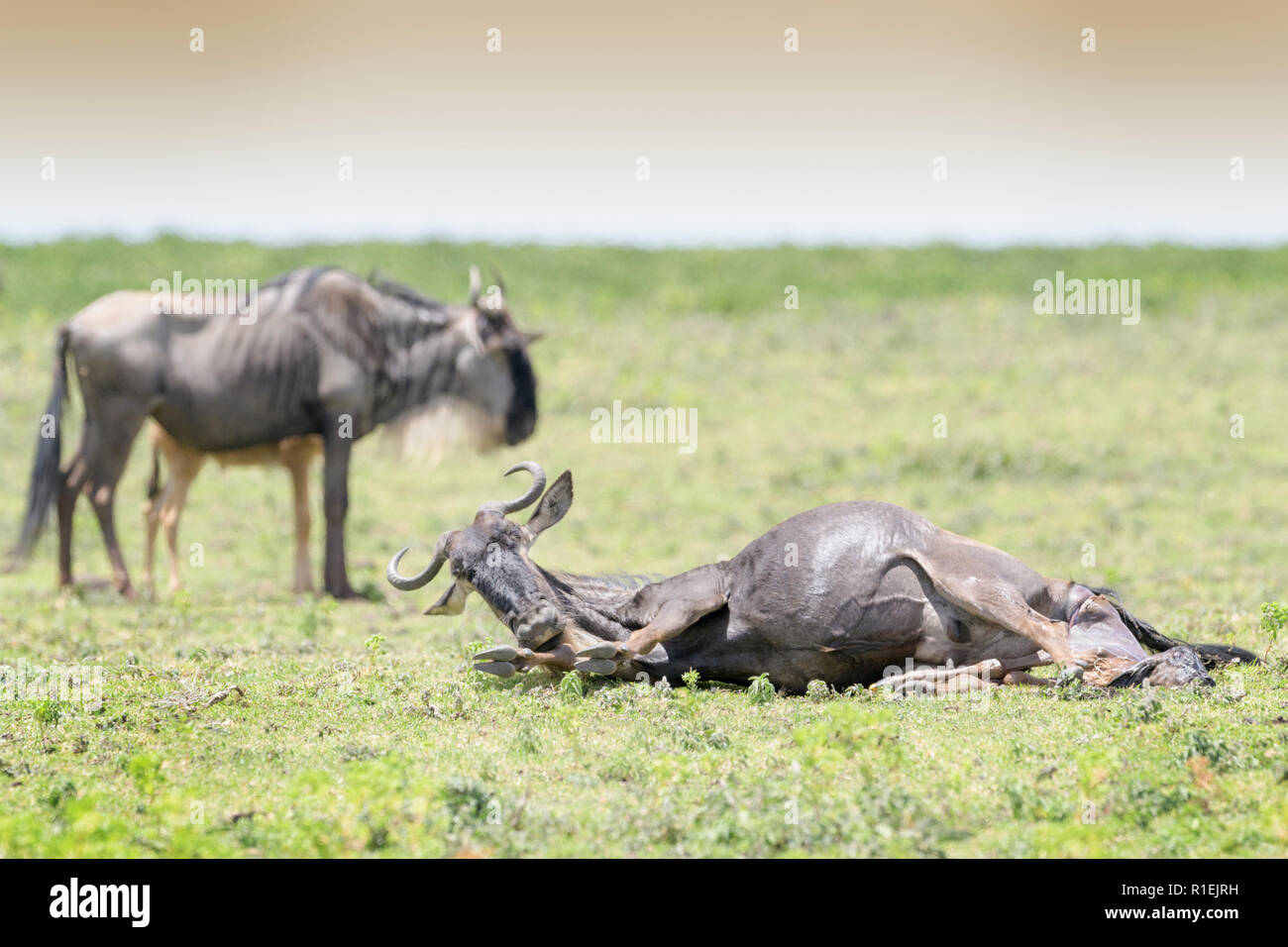 Blue Wildebeest (Connochaetes taurinus) lying down giving birth to a calf, Ngorongoro conservation area, Tanzania. - Stock Image