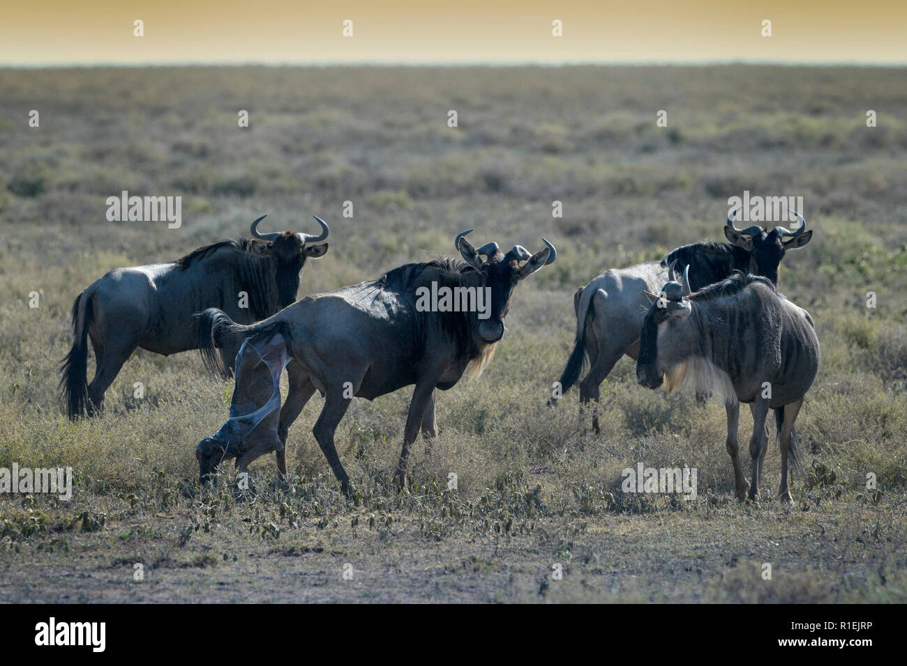 Blue Wildebeest (Connochaetes taurinus) mother giving birth to new born baby in the herd on savanna, Ngorongoro conservation area, Tanzania. - Stock Image