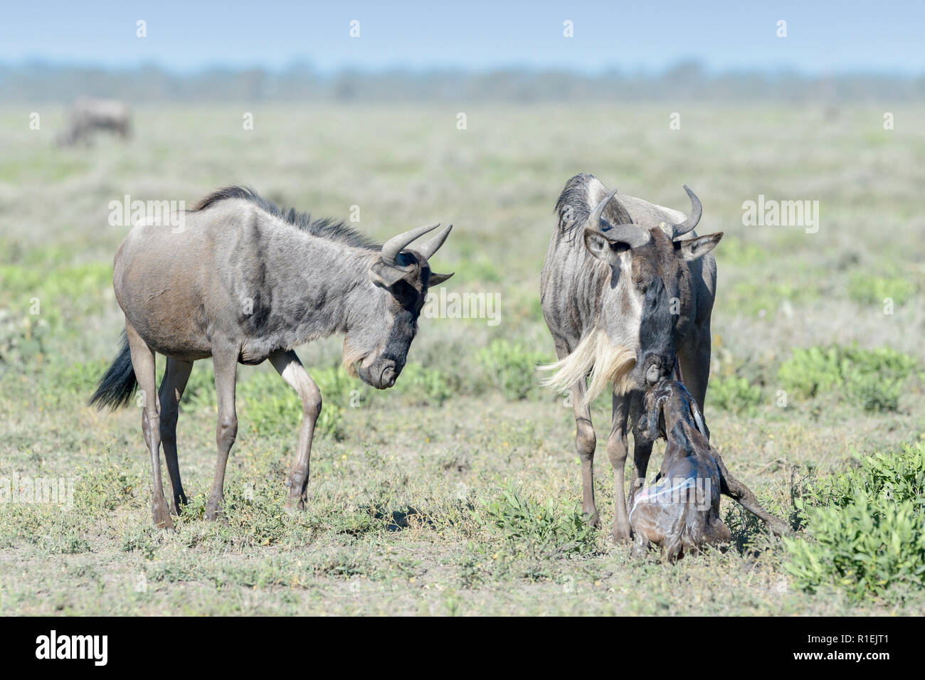 Blue Wildebeest (Connochaetes taurinus) mother with a new born baby and family looking, Ngorongoro conservation area, Tanzania. - Stock Image