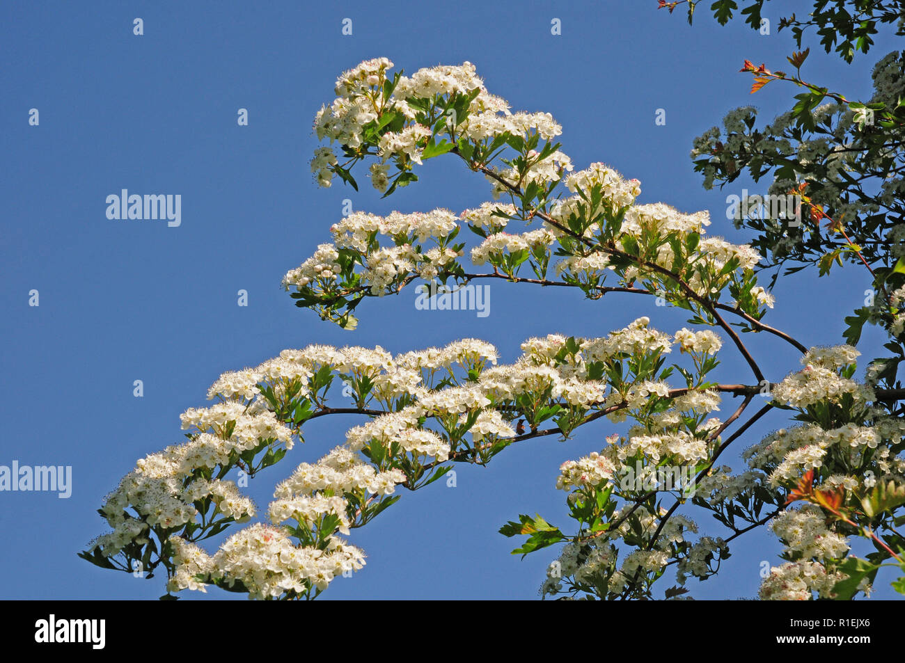Hawthorn tree, (Crataegus monogyna) in bloom. - Stock Image
