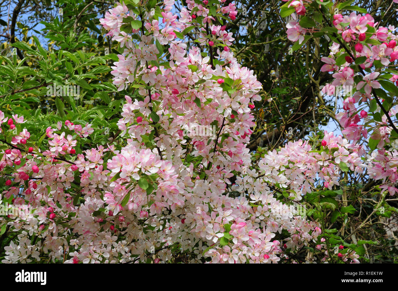 Flowers of wild crab apple, blooming in a hedgerow.Malus sylvestris - Stock Image