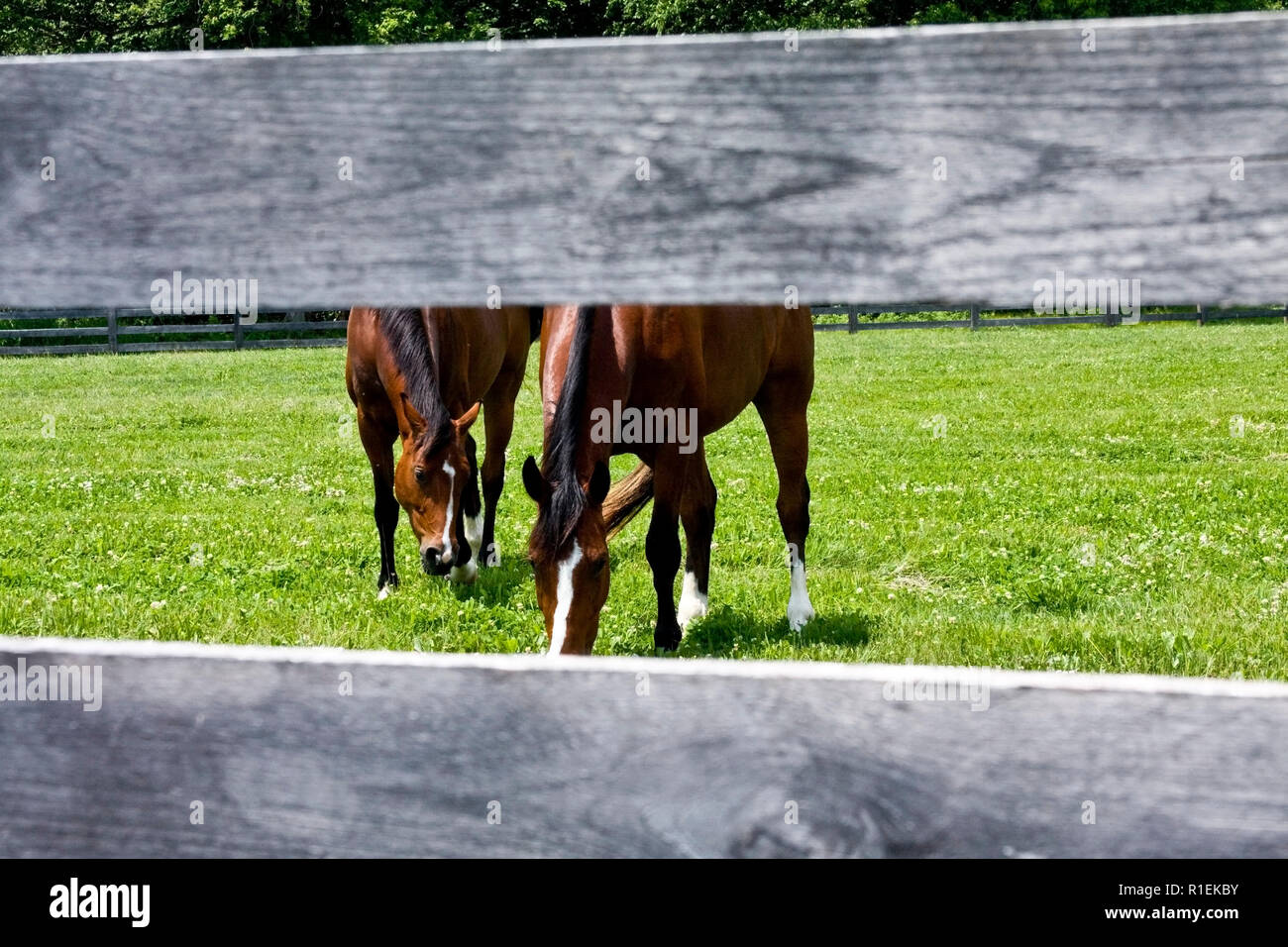 Horse farm with long wooden split-rail fences and horses seeking relief from sun on hot day. - Stock Image