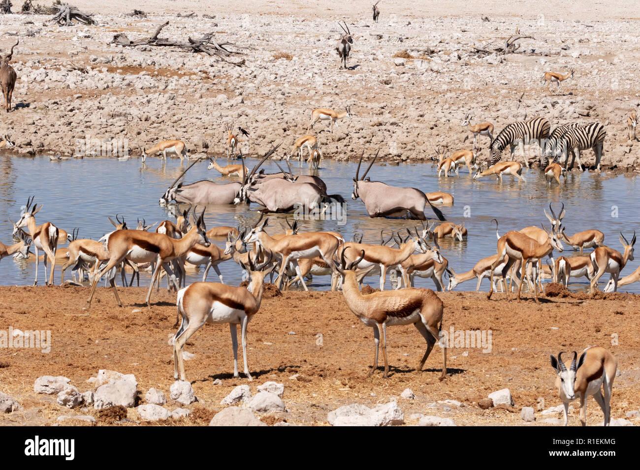 Namibia wildlife - herbivores around waterhole,including springbok,  zebra, oryx and kudu Okaukuejo camp, Etosha national park, Namibia Africa - Stock Image