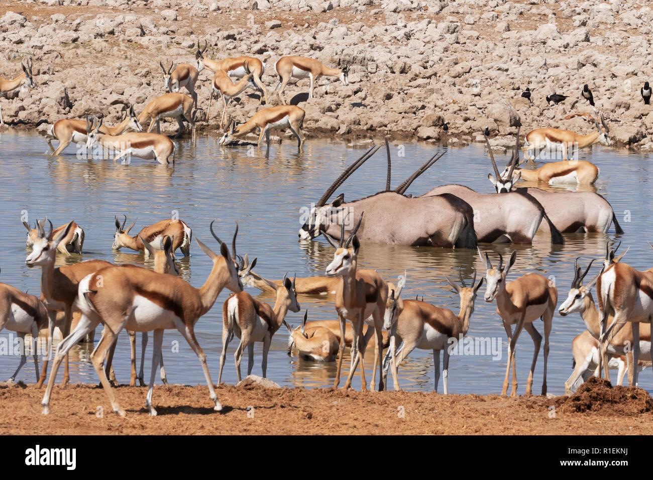 Namibia wildlife - herbivores around waterhole,including springbok, ,and oryx, Okaukuejo camp, Etosha national park, Namibia Africa Stock Photo